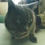 小樽 飼い主探し 猫 ロシアンブルー系 7歳 オス