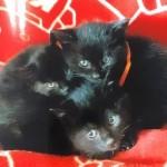 黒子猫3匹背景赤2 (1)